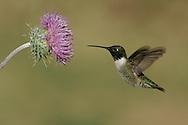 Adult male<br /> Cochise Co., AZ<br /> April 2005