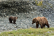 A grizzly bear sow watches her spring cub on the shore of the lower lagoon at the McNeil River State Game Sanctuary on the Kenai Peninsula, Alaska. The remote site is accessed only with a special permit and is the world's largest seasonal population of brown bears.