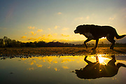 UNITED KINGDOM, London: 05 April 2018 'Margo' the dog walks past a puddle as the sun rises behind him this morning at Richmond Park. After a miserable week of rain, the sun is set to shine throughout the day. Rick Findler / Story Picture Agency