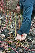 Tony Kirkham using secateurs to stool Cornus alba 'Westonbirt' (synonym of Cornus alba 'Sibirica')