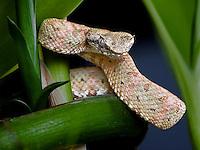 Eyelash Viper (Bothriechis schtegeli)
