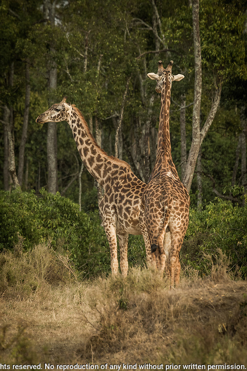 Masai Giraffe (Giraffa tippelskirchi) Black Rhinoceros (Diceros bicornis)<br />