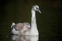 Mute Swan (Cygnus olor) cygnet, swimming, Hollow Ponds, Leytonstone, London , Essex, England