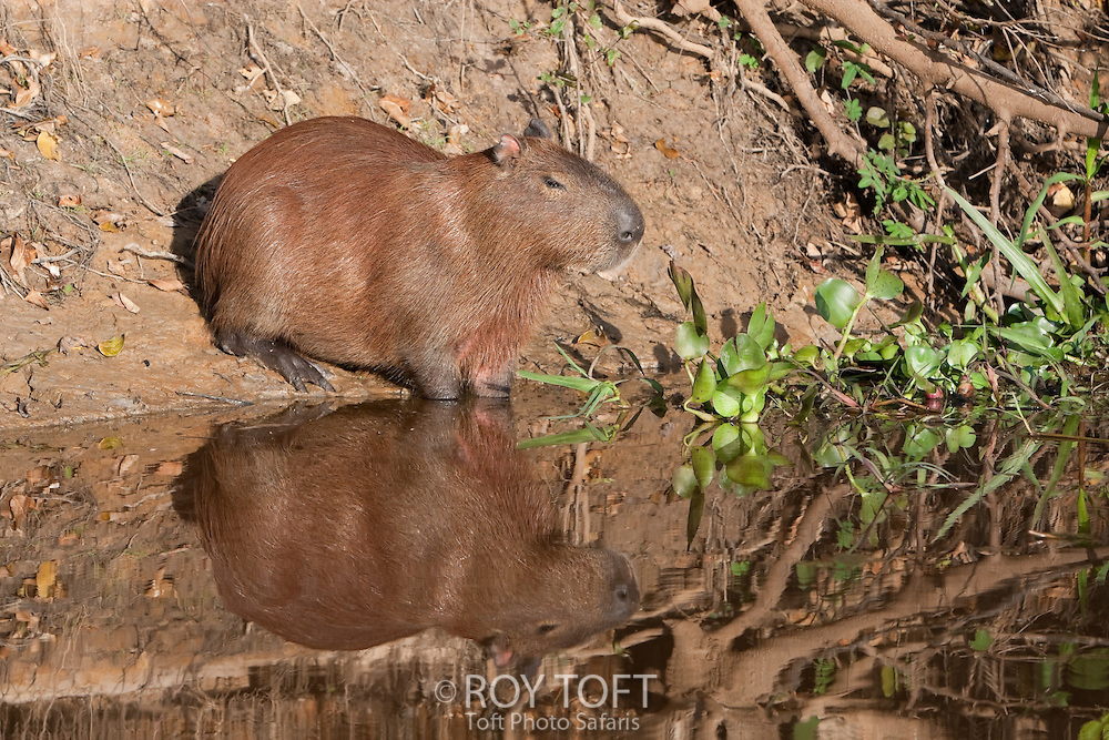 Capybara (Hydrochaeridae hydrochoeris), Pantanal, Brazil
