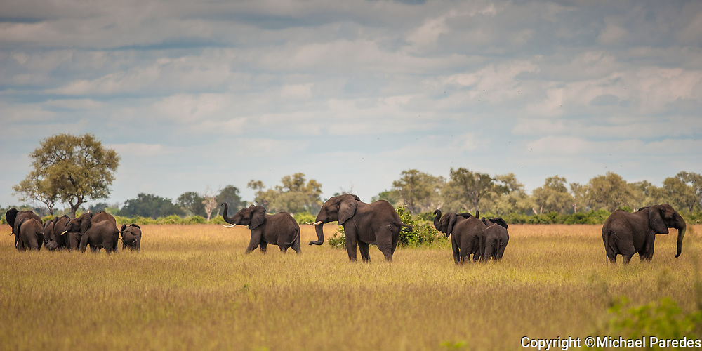 A herd of elephants is seen shortly after crossing a tributary of the Luangwa river in Zambia. *100% of the proceeds of this photo will go to organizations that are working to end the ivory trade, which is threatening to wipe out the elephant species by 2025. Thanks for your support!