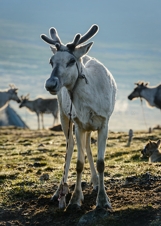 A reindeer bathes in morning light in a Dukha (Tsaatan) reindeer herder community, Mongolia. Approximately 200 families comprise the Tsaatan or Dukha community in northwestern Mongolia, whose existence is intimately linked to their herds of reindeer. Photo © Robert van Sluis
