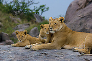 Lioness and cubs on a kopje (rock outcroping)