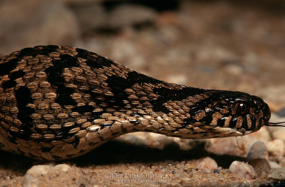 DEU, Deutschland: Schlange, Afrikanische Eierschlange (Gattung: Dasypeltis), hat ein Vogelei verschluckt | DEU, Germany: Snake, African Eggeater (Genus Dasypeltis) has just swallowed a bird egg |