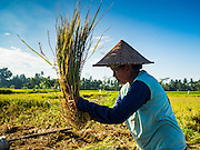 20 JULY 2016 - TAMPAKSIRING, GIANYAR, BALI: A woman threshes rice to separate the kernels from the stalk during the rice harvest in Tampaksiring, Bali. Rice is an important part of the Balinese culture. The rituals of the cycle of planting, maintaining, irrigating, and harvesting rice enrich the cultural life of Bali beyond a single staple can ever hope to do. Despite the importance of rice, Bali does not produce enough rice for its own needs and imports rice from nearby countries. Because of its dependable growing weather and number of micro-climates, rice cultivation is a year round activity in Bali. Some farmers can be harvesting rice, while farmers just a few kilometers away can be planting rice. Most rice in Bali is still harvested by hand.      PHOTO BY JACK KURTZ