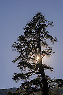 Tree and sun at Angora Lakes, Eldorado National Forest, near South Lake Tahoe, California