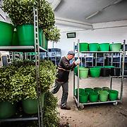 lavoro in una azienda produttrice di verde ornamentale a Magliolo in Liguria