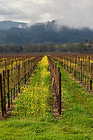 Grape vines in winter with mustard growing,  Healdsburg, California, USA