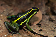Three-striped Poison Arrow Frog (Epipedobates trivitatus)<br /> Kanuku Protected Area<br /> Rupununi<br /> GUYANA<br /> South America