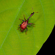 A weevil is a beetle from the Curculionoidea superfamily. There are over 60,000 species in several families, mostly in the family Curculionidae (the true weevils).