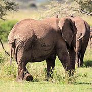 Elephant with crossed legs