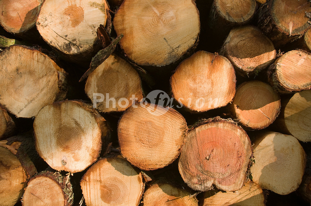 Harvested soft wood cut into lengths and stacked in piles ready for collection and delivery to sawmill Wales