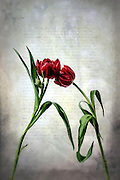 two red tulips on an old letter