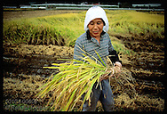 Woman in scarf smiles as she cradles sheaf of rice harvested in typhoon-damaged field;Utsunomiya Japan