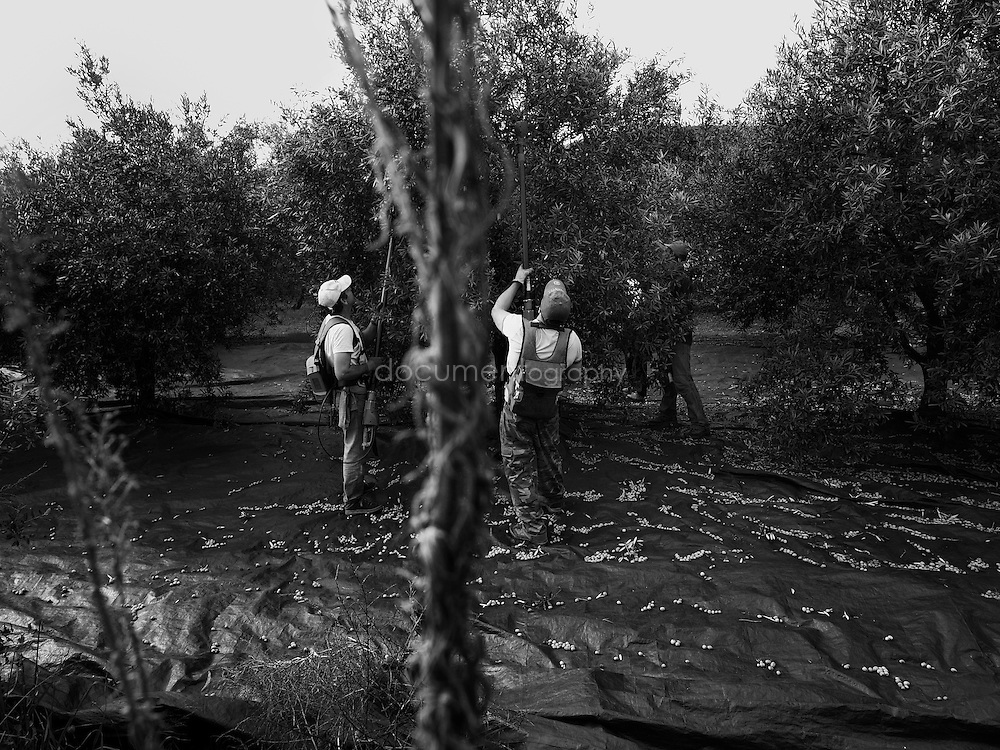 Workers harvesting the olive trees, Domaine du Jasson, La Londe Les Maures, France., La Londe Les Maures, France.