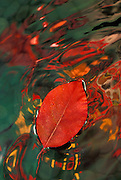 Black Tupelo leaf (Nyssa sylvatica) showing fall color with fall reflection reflection. Hoyt Arboretum, Portland, OR,