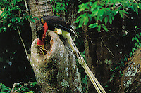A male Helmeted Hornbill (Rhinoplax vigil) delivers a large stick insect to his mate sealed inside her nest cavity.  Budo-Sungai Padi National Park, Narathiwat, Thailand.