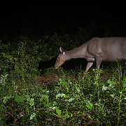 A female sambar (Rusa unicolor) is a large deer native to the Indian subcontinent, southern China and Southeast Asia.