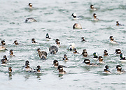 As this flock of Bufflehead rode the waves, individuals would be constantly diving for food