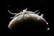 [captive] Brittle stars or ophiuroid on sponge sampel from 200m, Trondheimfjord, North Atlantic Ocean, Norway | Ein winziger Schlangenstern fängt Plankton auf einem Schwamm.