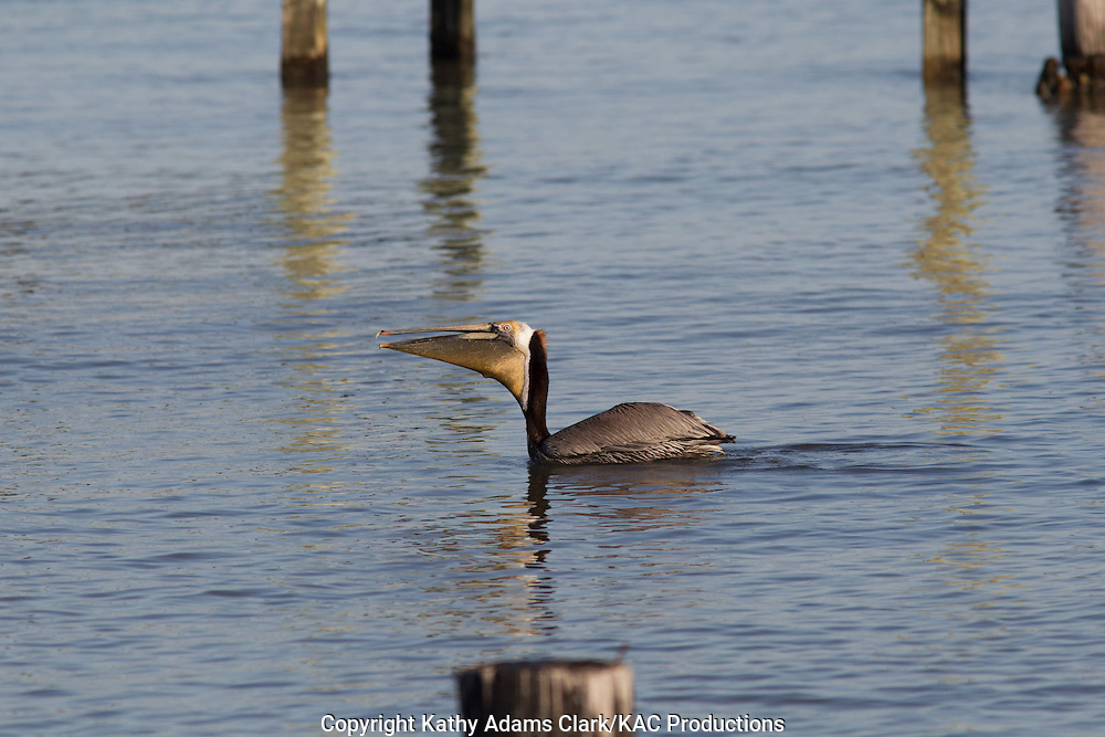 Brown pelican, Pelecanus occidentalis, feeding, pouch, spring, Galveston, Texas.
