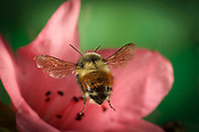 A large bumble bee (Bombus huntii) flies toward a rhododendron flower.