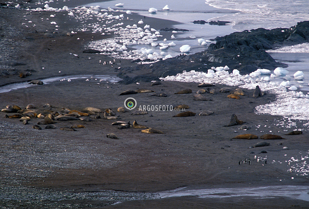 Antartica, dezembro 1991..Continente Antartico, Ilha Elefante no Mar de Weddell. Leoes Marinhos e pinguins..Foto © Adri Felden/Argosfoto