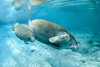Florida manatee, Trichechus manatus latirostris, a subspecies of the West Indian manatee, endangered. Horizontal orientation. A young manatee calf swims next to its relaxing mother swimming on her side in the warm, fresh blue water of Three Sisters Springs, Crystal River National Wildlife Refuge, Kings Bay, Crystal River, Citrus County, Florida USA.