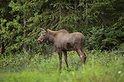 Moose calf with forest background