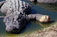 Vereinigte Staaten von Amerika, USA, Florida: amerikanischer Mississippi-Alligator (Alligator mississippiensis) mit einem teilweise abgebissenen Fuss. Alligatoren sind Kannibalen. Kannibalismus kommt meistens in der Paarungszeit vor, wenn Maennchen um ein Weibchen kaempfen. Haeufig frisst der Sieger den Unterlegenen. | United States of America, USA, Florida: American Alligator, Alligator mississippiensis, with a partly lost front leg, Alligators are cannibals, cannibalzing mostly happens in the mating season during the fights for females, the victor often eats the rival. |