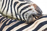Burchelles Zebra grooming. Vernon Crookes Nature Reserve. Southern KwaZulu Natal. South Africa
