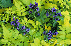 Gentiana asclepiadea ( Willow gentian ) growing through Rubus cockburnianus 'Golden Vale' (Golden Bramble)
