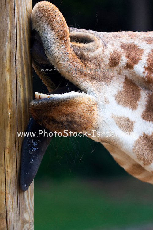 Extreme close up of a Giraffe licking a wooden pole