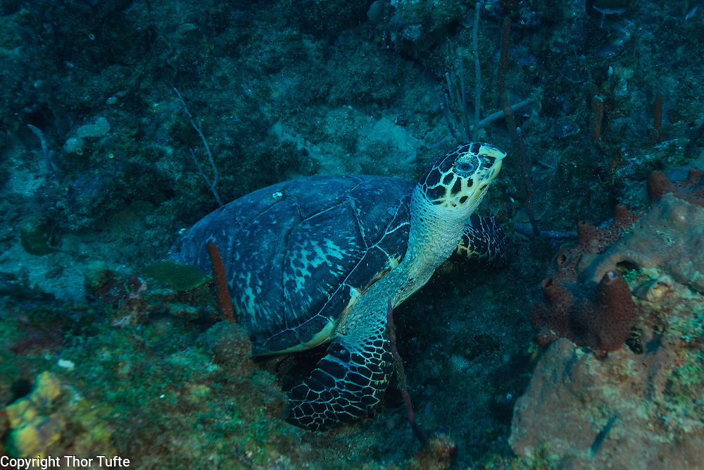 Hawksbill Turtle on the reefs off the coast of Guayacanes in The Dominican Republic.