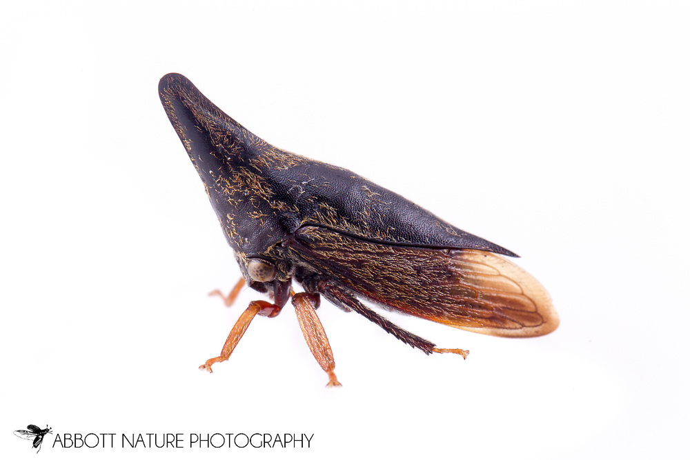 Treehopper (Calloconophora sp.)<br /> BELIZE: Cayo District <br /> Ian Anderson's Caves Branch Lodge near Armenia<br /> 7-Sep-2014<br /> J.C. Abbott &amp; K.K. Abbott