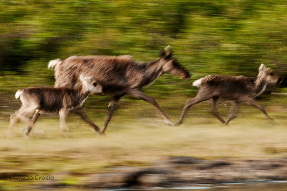 CANADA, Nunavut.Pan blur of a barren-ground caribou (Rangifer tarandus groenlandicus) cow with calves