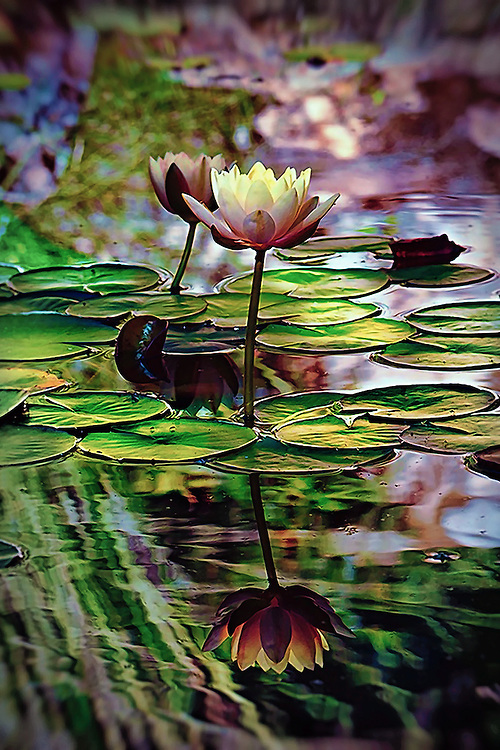 Tropical water lily at Zilker Botanical Gardens, Austin, TX.