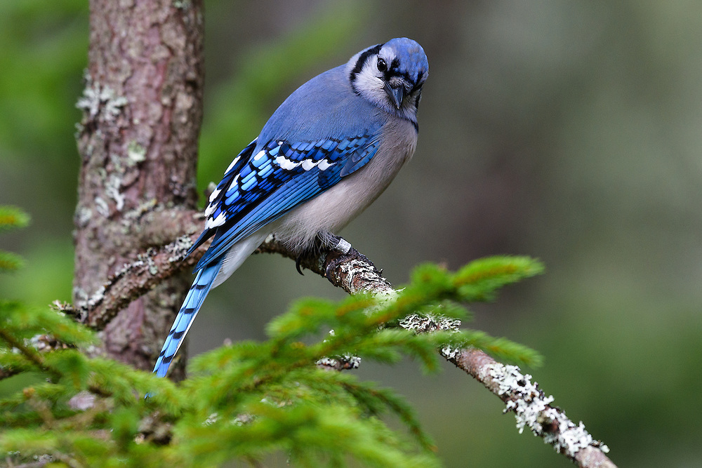 Blue Jay (cyanocitta cristata), Bass Harbor, Maine. This banded Jay showed up  in my backyard in October 2016. I spent two weeks photographing the band from all angles until I could read it completely. It turns out that the bird was banded as an adult just a few miles from the house in September 2011 meaning it was at least 6-7 years old when first observed by me (but could have been older). I have seen it at my feeders as recently as 06Sep2018.