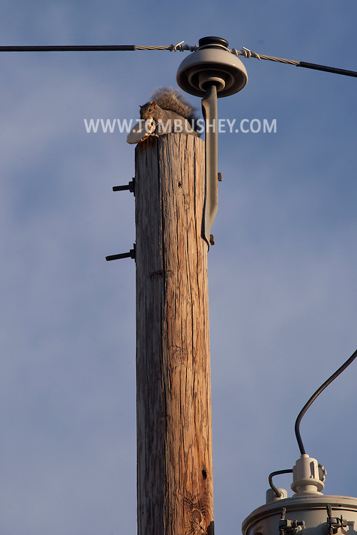 Middletown, New York - A squirrel eats a bagel while perched on top of a utility pole on Nov. 16, 2012.
