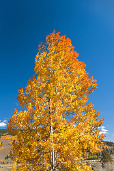 Camp Hale, CO: Singole aspen tree turning golden yellow in late summer along US 24, part of Colorado's Top of the Rockies Scenic Byway near the old Camp Hale.  Color is site-accurate; has not been saturated in Photoshop.