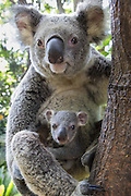 Koala <br /> Phascolarctos cinereus<br /> Mother and seven-month-old joey<br /> Queensland, Australia<br /> *Captive