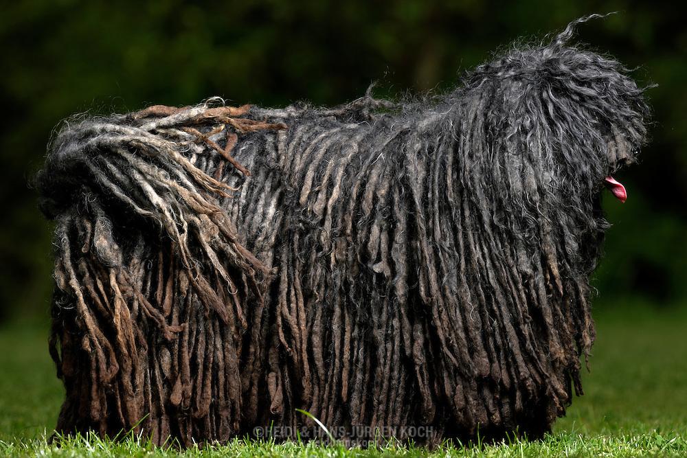 """Puli (Canis lupus familiaris), Hungarian herding and livestock guarding dog known for its long, corded coat. The tight curls of the coat are similar to dreadlocks. The coat of some Puli dogs can be different, thinner or thicker cords, either flat or round, depending on the texture of the coat and the balance of undercoat to outer coat. The coat is the result of a controlled matting process. The Pulik (plural of puli) Dog's coat is normally a shade ofblack, rusty black, white or various shades of grey and sand. The coat is normally dense and weatherproof. The outer coat is wavy or curly, while the undercoat is soft and woolly. Correct proportion of each creates the desired cords. They start forming cords when they are becoming adults, as puppies do not have cords. Coat protecting the herding dog against cold and predator-bitten. Singhofen, Rhineland-Palatinate, Germany.This picture is part of the series """"Creature's Coiffure""""..Ungarischer Puli (Canis lupus familiaris) Stehender Puli. Der Puli ist ein aus Ungarn stammender Huete -und Treibhund. Charakteristisch ist sein meist bis zum Boden reichendes zu Rastalocken gedrehtes Fell. Dieses Haarkleid bildet sich über einen Zeitraum von 1 bis 2 Jahren nach Ablegen des flauschigen Welpenfells, wenn feine Unterwolle und groebere Deckhaare miteinander verfilzen. Hat das Fell - genetisch bedingt - die richtige Mischung aus groeberem Deckhaar und feinerer Unterwolle, verfilzt nicht das gesamte Deckfell zu einer Planke (Platte), sondern faellt bei nur wenig Pflege durch die Halter in duennen Schnueren oder Baendern. Aufgrund des ueppigen Haarkleides und der im Fell verbleibenden toten Unterwolle riecht das Fell dieser Hunderasse bei Naesse stark. Dieses dichte Fell soll den arbeitenden Huetehund jedoch sowohl vor Kaelte als auch vor den Bissen angreifender Raubtiere schuetzen. Die Zottel bedecken auch die Augen, so dass der Hund sichtbehindert sein kann. Die dichtbehaarte Rute wird aufgerollt getragen. Pulik (Mehrzahl von Puli)"""