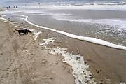 Nederland, the netherlands, Wijk aan zee, 1-9-2018 Aan zee . Door de stevige wind worden de golven hoger en woester. Een hond, teckel,  speelt op het strand aan de waterlijn en ruikt aan het schuim van de branding, golven .. Foto: Flip Franssen