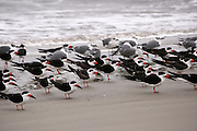 Flock of Skimmers and seagulls on Jekyll Island beach.