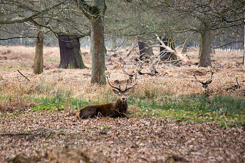 King Charles 1 created this Royal deer-hunting park in Richmond, Surrey in 1637 and today there are still 300 Red Deer and 350 fallow deer roaming wild. Richmond park is Britain's largest urban walled park and is 3 times the size of Central park in NY.