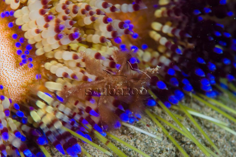 Close up of Fire Urchin, Astrophyga radiata,  Anilao, Solo, Anilao Mabini, Batangas, Philippines